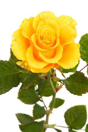 rosas naranjas: Frescas rosas amarillas sobre fondo blanco