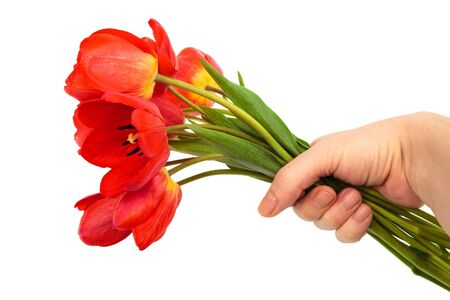 bouquet of tulips in a hand against a white background photo