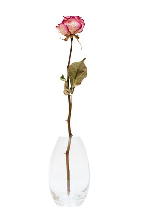 dry rose in the vase on a white background photo