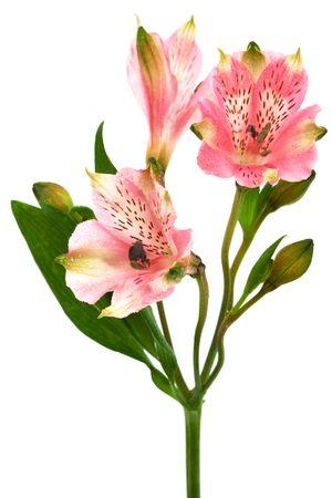 Beautiful pink alstroemeria on a white background photo