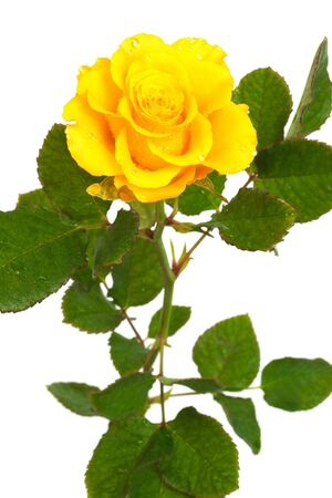 Fresh yellow roses on a white background Stock Photo - 6652958