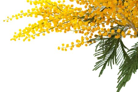 mimosa: branch of a mimosa on a white background