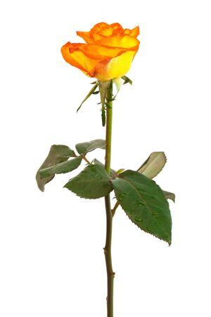 Fresh orange roses on a white background photo