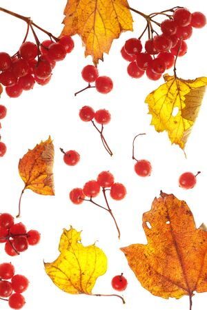 viburnum and yellow leaves on white background photo