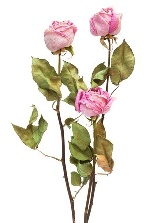 dried flower: three dry roses on a white background