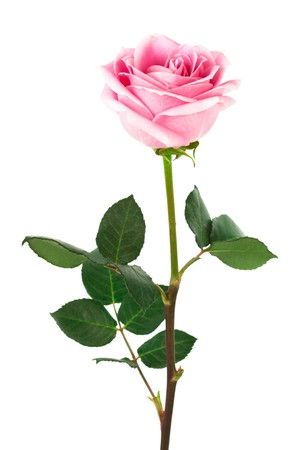 springy: single pink rose on a white background