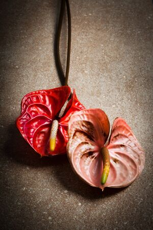anturium: anthurium due belle su un marmo marrone