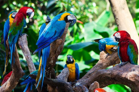 amazon rainforest: group of beautiful parrots in a tree