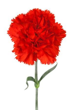 在白色背景的美丽的红色康乃馨