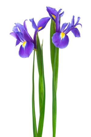 blue violet bright: two purple iris on a white background