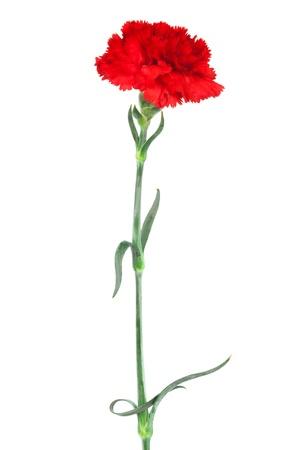 clavel: primer plano clavel rojo sobre un fondo blanco Foto de archivo