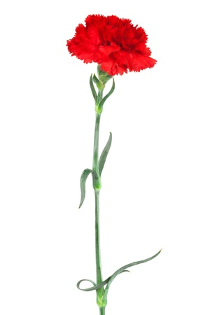 red carnation close-up on a white background photo