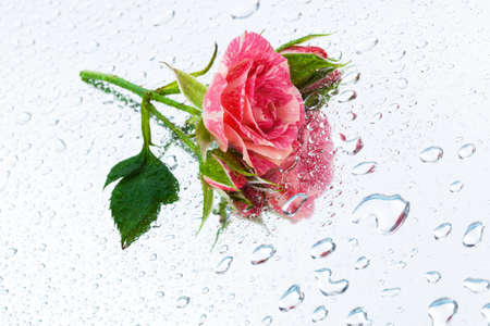 pink rose on the mirror with water drops photo