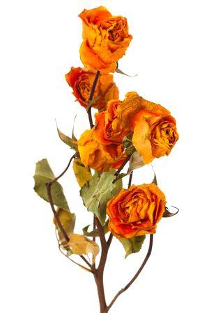 orange dry roses on a white background photo