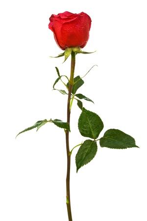 roda: Rosa escarlata sola sobre un fondo blanco