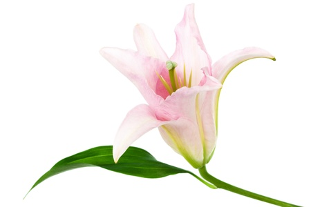 springy: beautiful pink lily on white background Stock Photo