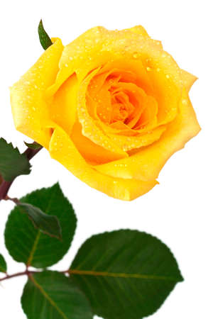 single yellow rose on a white background Stock Photo - 9313745