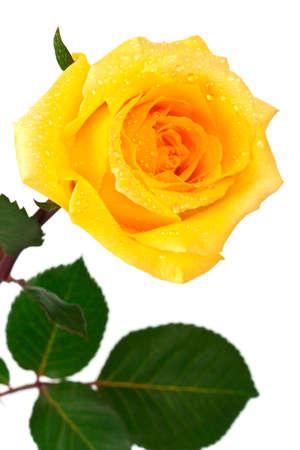 single yellow rose on a white background Stock Photo - 9313745