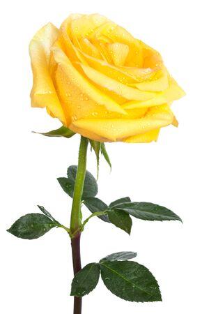 rosas naranjas: solo amarillo subi� sobre un fondo blanco Foto de archivo