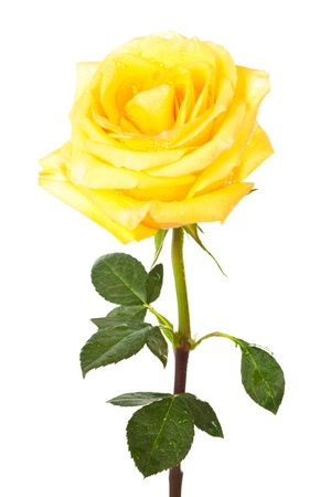 stem: single yellow rose on a white background Stock Photo