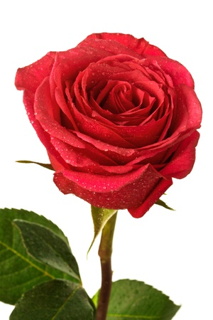 red  green: single scarlet rose on a white background