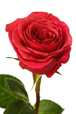 scarlet: single scarlet rose on a white background