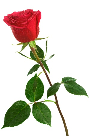 rose stem: single scarlet rose on a white background