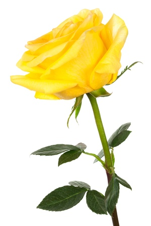rose stem: single yellow rose on a white background Stock Photo