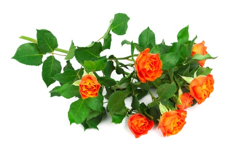 beautiful branch of roses on a white background photo