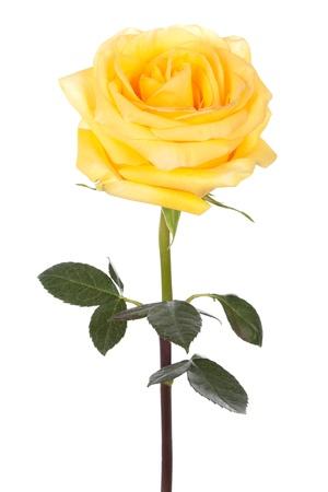 白い背景の上の 1 つの黄色いバラ