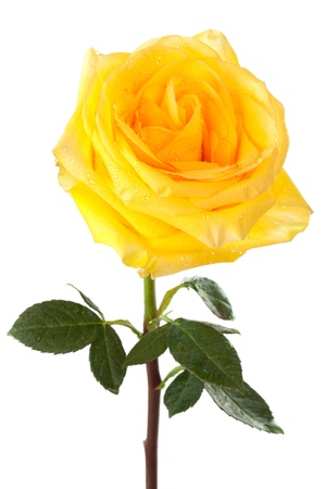 yellow rose on white background photo