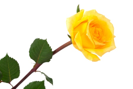 single yellow rose on a white background Фото со стока