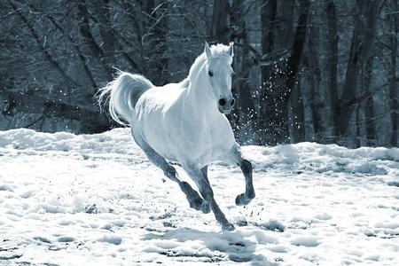 corse di cavalli: Saltare cavallo bianco su uno sfondo di un bosco