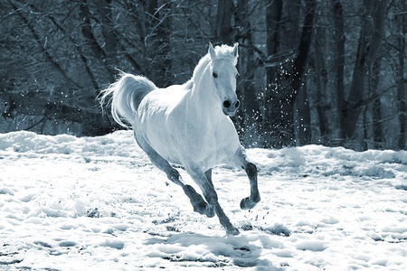 horse in snow: Skipping white horse on a background of a wood Stock Photo