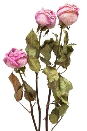 flores secas: tres rosas secas sobre un fondo blanco Foto de archivo