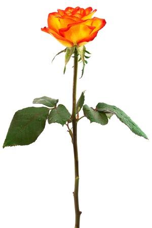 orange rose: Fresh orange roses on a white background Stock Photo