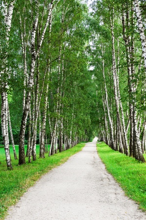 narrow walking path in the birch forest photo