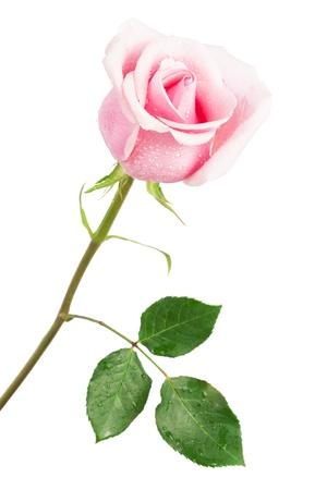 rosas rosadas: frescura rosa rosa sobre un fondo blanco