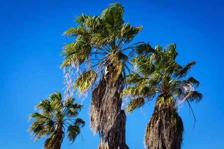 three palm trees: palm trees against a blue sky
