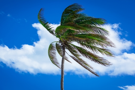palm tree in a strong wind against the sky Stock Photo - 18006231