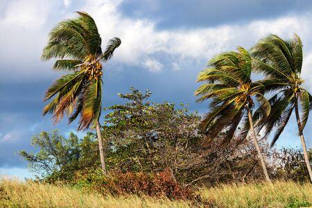coconut palms and strong winds in the afternoon Stock Photo - 18104816