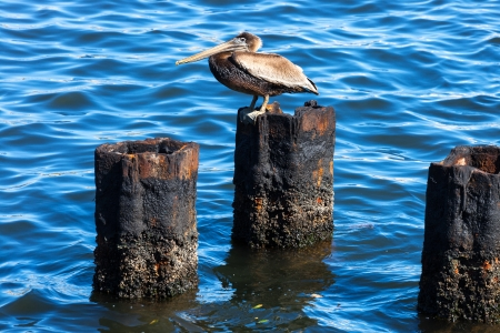 pelican on a rusty pile against water photo