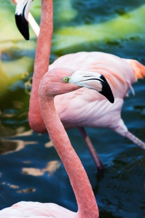 pecker: flamingo head close-up on the background of water Stock Photo