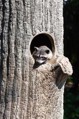 animal den: beautiful raccoon in a tree hollow