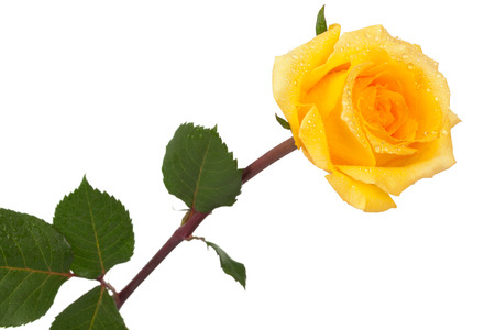 yellow stem: yellow rose with drops on white background