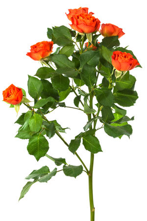 orange rose: beautiful branch of roses on a white background Stock Photo
