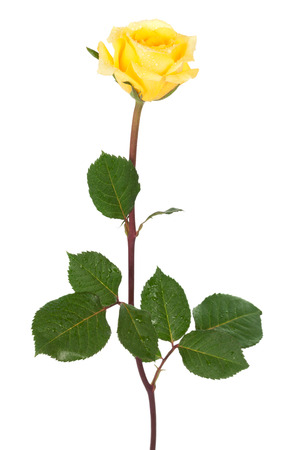 yellow stem: rose with dew drops on a white background