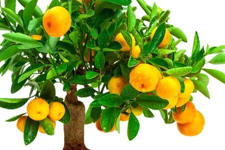tangerine tree: beautiful tangerine tree on a white background