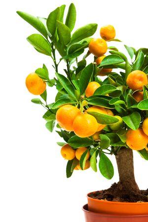 naranja arbol: árbol de mandarina en una olla sobre un fondo blanco Foto de archivo