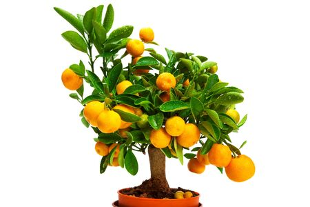 citrus tree: tangerines on a tree on a white background